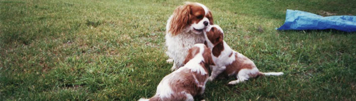 Cavalier King Charles Spaniel Club of Canada